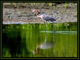 wading bird by jeenie11, Photography->Birds gallery