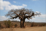 Baby baobab by mmynx34, Photography->Nature gallery