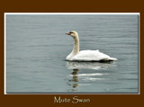 Mute Swan by gerryp, Photography->Birds gallery