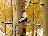 Aspen Trees and a  Little Bit of Snow by ChuPat, Photography->Nature gallery
