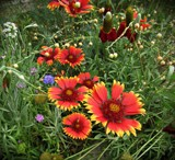 Indian Blanket flowers & Mexican Hat flowers by Roseman_Stan, photography->flowers gallery