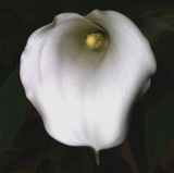 Calla Lily by ccmerino, photography->flowers gallery