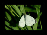 Cabbage White by gerryp, Photography->Butterflies gallery