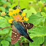 Long-Tailed Skipper by froggiebelle, photography->insects/spiders gallery