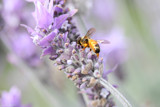 Lavender Buzz by LynEve, photography->insects/spiders gallery