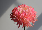 A Chrysanthemum for Friday by jerseygurl, photography->flowers gallery