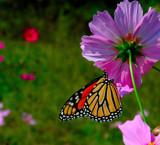 Monarch on wildflower by tweezer, Photography->Butterflies gallery