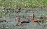 Whistling Ducks by 100k_xle, Photography->Birds gallery