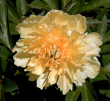 Itoh Peony 'Yumi' by trixxie17, photography->flowers gallery