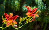 Red Lilies 2 by Pistos, photography->flowers gallery