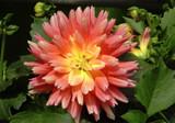 Peachy Dahlia by trixxie17, photography->flowers gallery