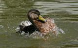 Summer Splash by boremachine, Photography->Birds gallery