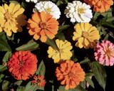 Rainbow Zinnias by trixxie17, photography->flowers gallery