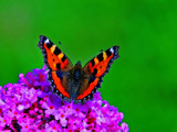 Small tortoiseshell by biffobear, photography->butterflies gallery