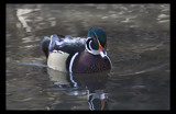 Just Ducky by garrettparkinson, Photography->Birds gallery