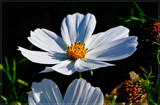 Mexican Aster (Cosmos Bipinnatus) 2 by corngrowth, photography->flowers gallery