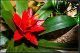 Bromeliad by corngrowth, photography->flowers gallery