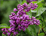 Rainy Day Lilacs by trixxie17, photography->flowers gallery