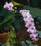 A Sprig of Orchids by Pistos, photography->flowers gallery