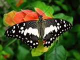 Chester Zoo Butterfly by braces, photography->butterflies gallery