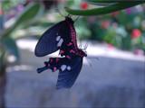 Butterfly Love by wheedance, Photography->Butterflies gallery