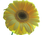 Yellow Gerbera by ccmerino, Photography->Flowers gallery