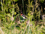 Red-Breasted Grosbeak by Pistos, photography->birds gallery