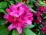 Pink rhododendron by Gabbels, Photography->Flowers gallery