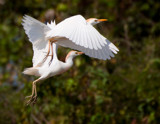 Cattle Egrets by jeenie11, photography->birds gallery
