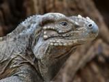 Dragon by Paul_Gerritsen, Photography->Reptiles/amphibians gallery