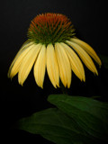 Coneflower by ccmerino, Photography->Flowers gallery