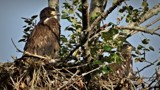 Young bald eagels by GIGIBL, photography->birds gallery