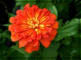 Another Zinnia by trixxie17, photography->flowers gallery