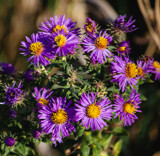 Asters by Pistos, photography->flowers gallery