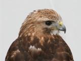 Buzzard (Buteo Buteo) Buizerd by cameraatje, photography->birds gallery