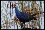Not a Purple Gallinule, I think????? by garrettparkinson, photography->birds gallery