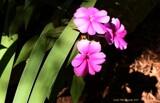 Calendar Garden Impatiens by tigger3, photography->flowers gallery
