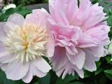 Pretty Pair by Stevenn120, Photography->Flowers gallery