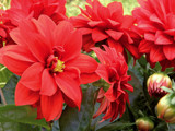 My First 2018 Dahlias by trixxie17, photography->flowers gallery
