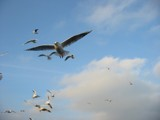 Hungry Birds in Flight by mrpeachum, Photography->Birds gallery