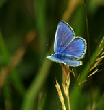 Common Blue by biffobear, photography->butterflies gallery