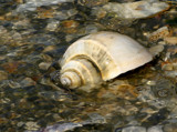 channeled whelk by jeenie11, Photography->Nature gallery