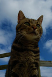 manx cat by corsa1, photography->pets gallery
