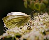 Green Veined by biffobear, photography->butterflies gallery