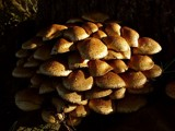 Pholiota squarrosa by kjh000, Photography->Mushrooms gallery
