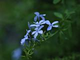 Blue Jasmine by prashanth, photography->flowers gallery