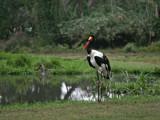 saddle billed stork by jeenie11, Photography->Birds gallery