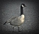 Goose by picardroe, photography->birds gallery