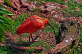 Male Scarlet Ibis by biffobear, photography->birds gallery