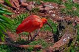 Male Scarlet Ibis by biffobear, photography->birds gallery